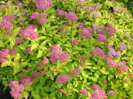 [Goldflame Spirea]